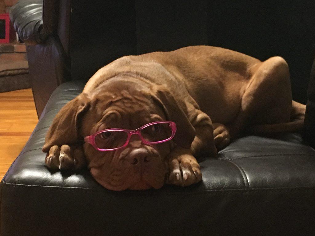 Dogue de Bordeaux puppies cute