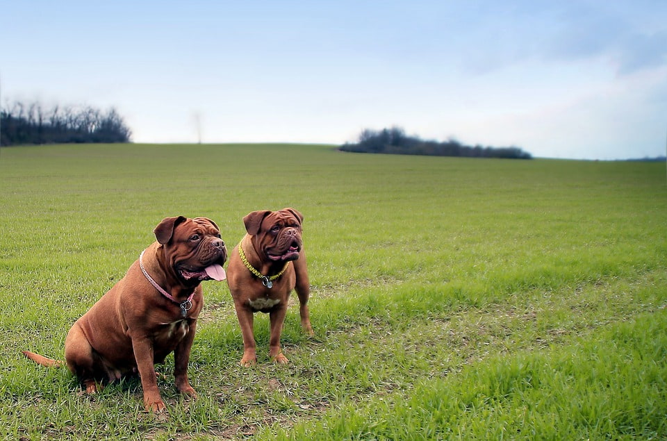 History of the Dogue De Bordeaux