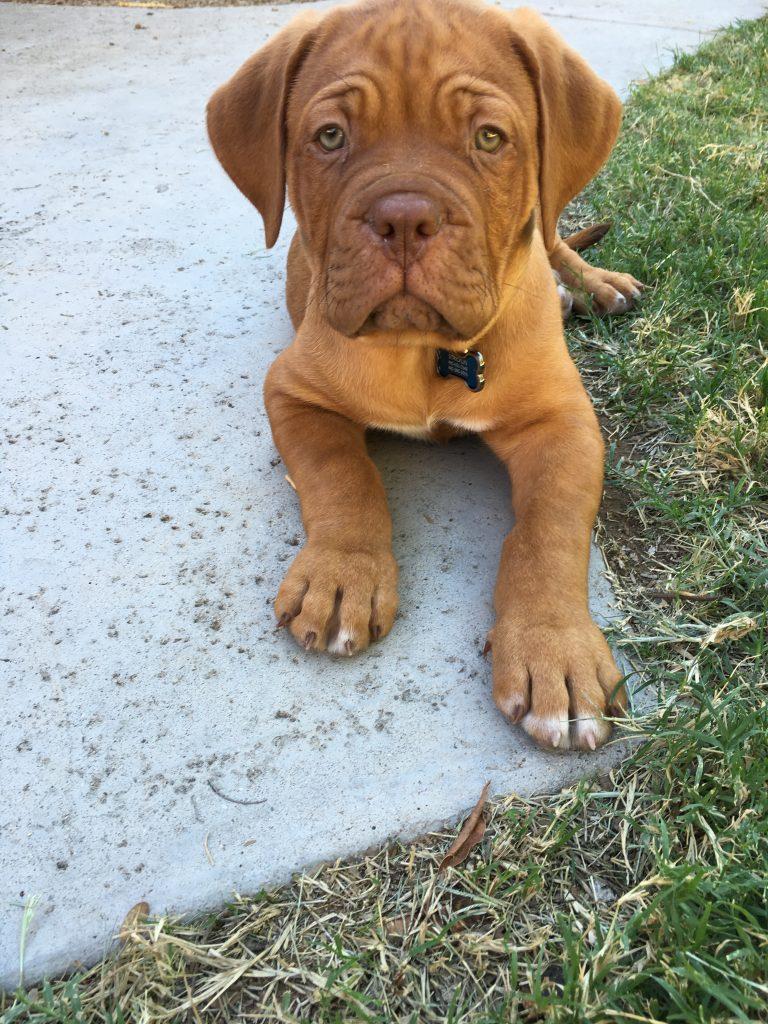 dogue puppy