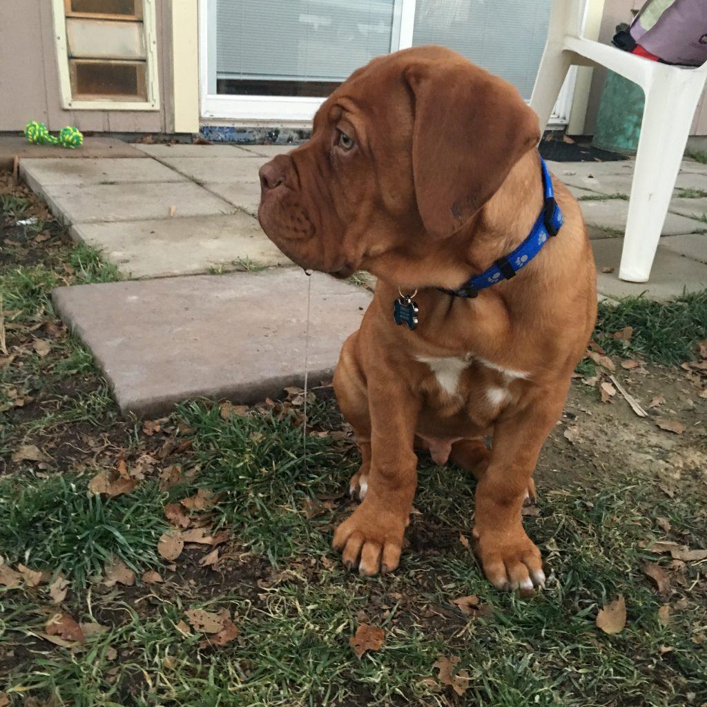 puppy dog de bordeaux