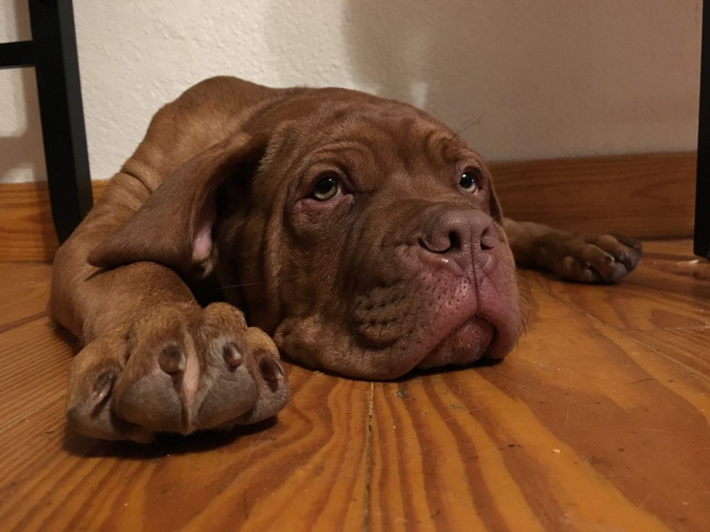 Top 5 Reasons to Raise A Dogue De Bordeaux